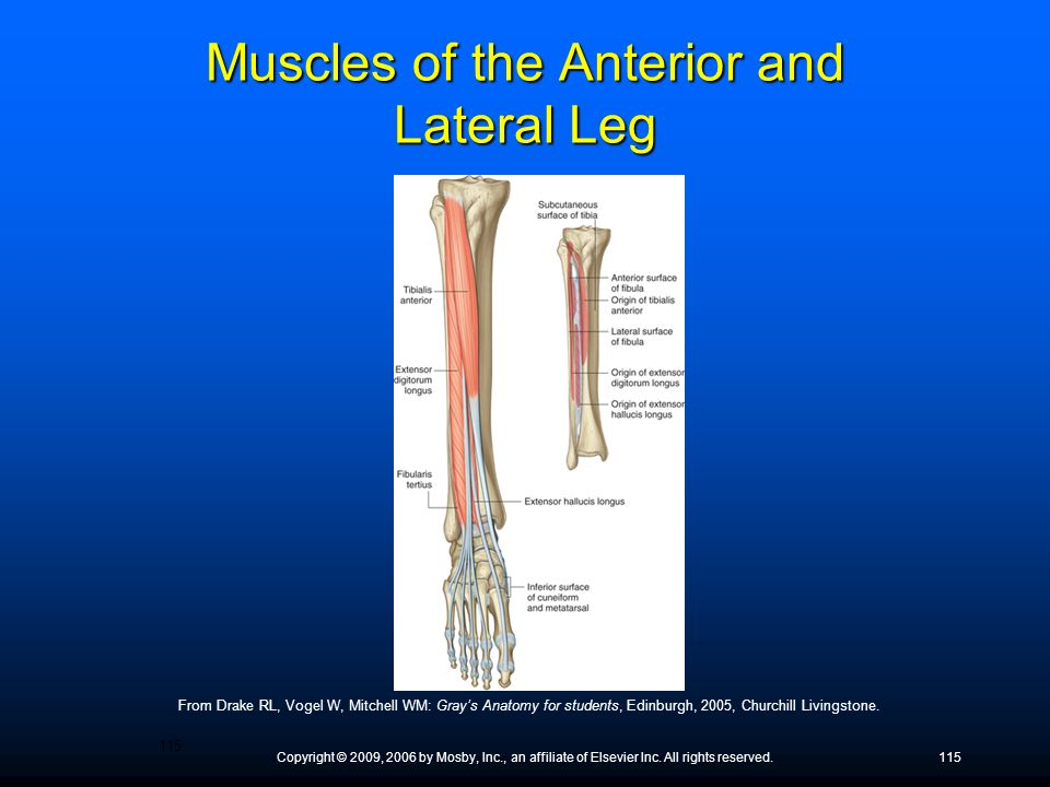 Muscles of the Anterior and Lateral Leg