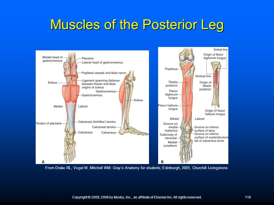 Muscles of the Posterior Leg