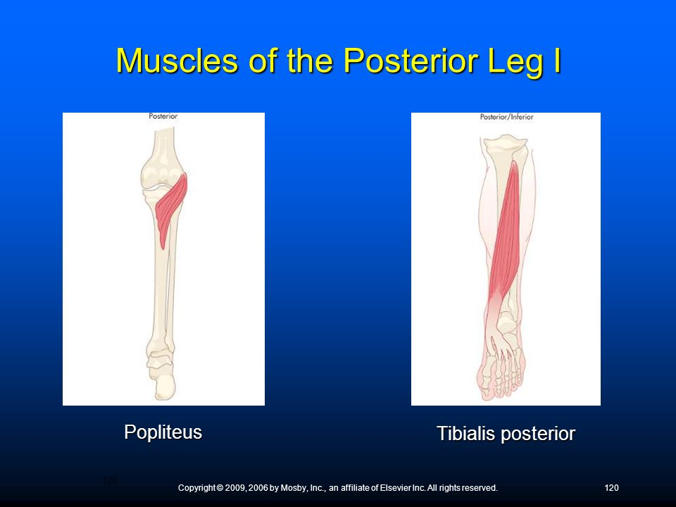 Muscles of the Posterior Leg I