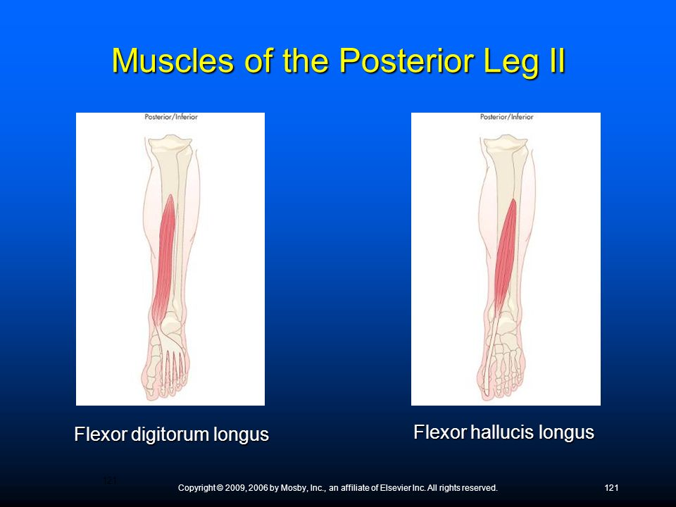 Muscles of the Posterior Leg II