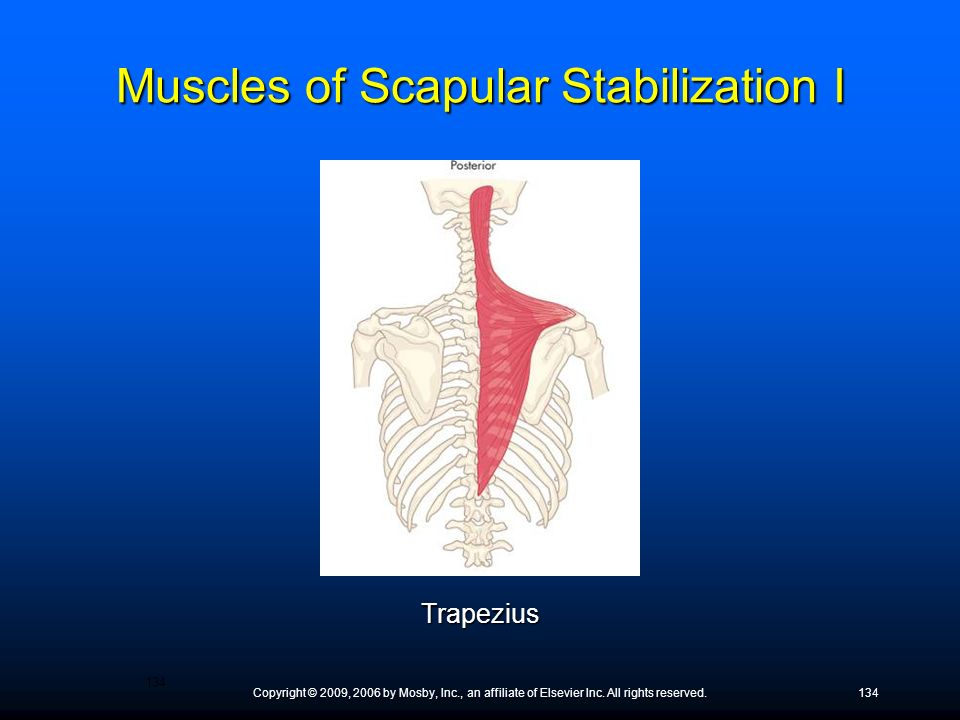 Muscles of Scapular Stabilization I