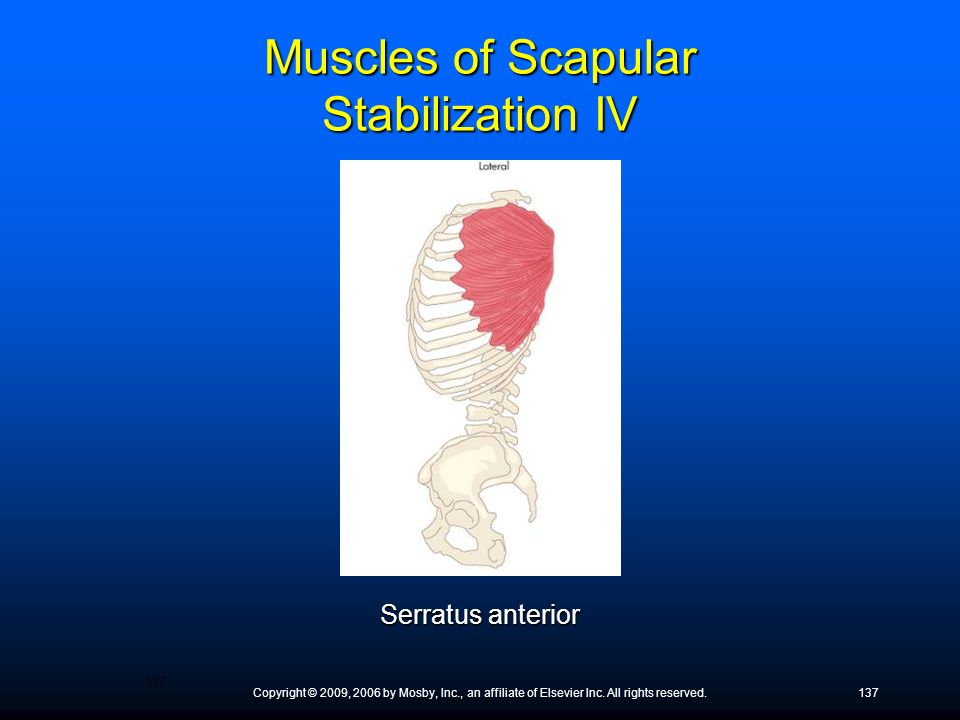 Muscles of Scapular Stabilization IV