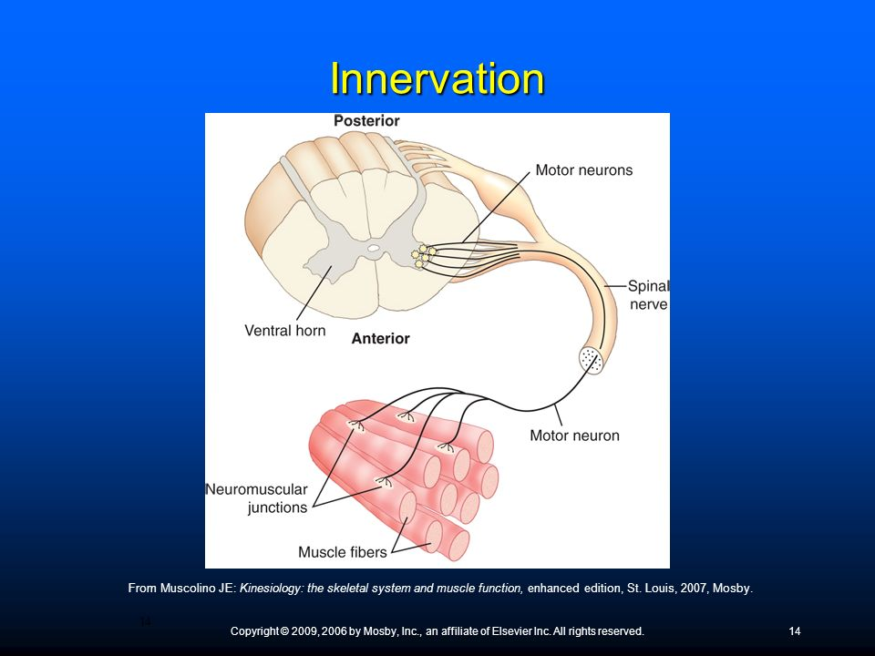 Innervation ● What is a motor point