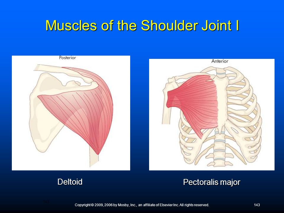 Muscles of the Shoulder Joint I