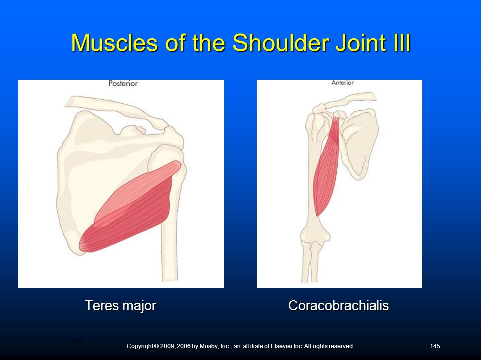 Muscles of the Shoulder Joint III