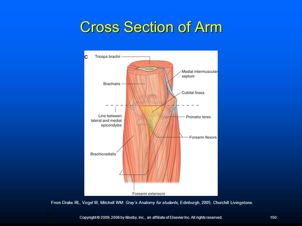 Cross Section of Arm From Drake RL, Vogel W, Mitchell WM: Gray's Anatomy for students, Edinburgh, 2005, Churchill Livingstone.