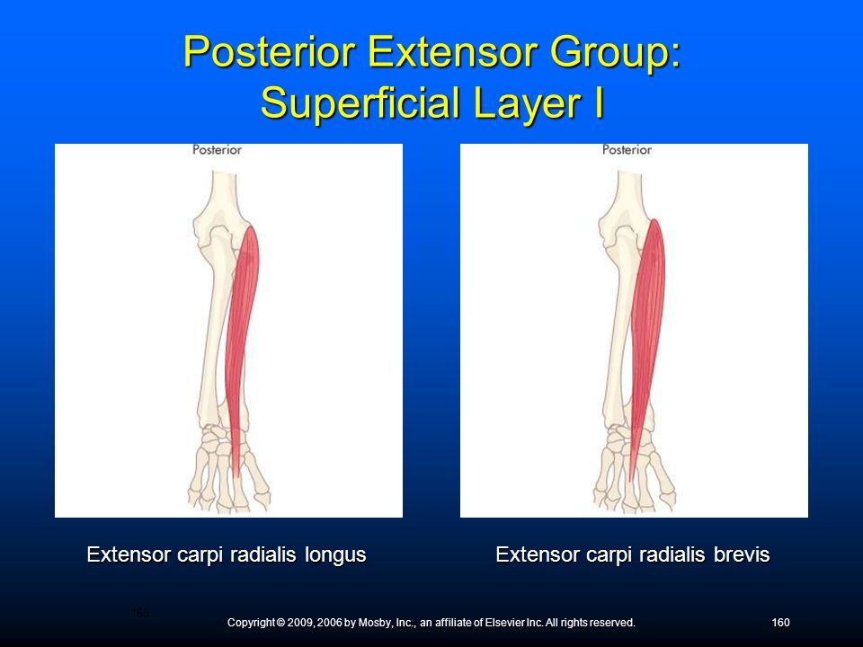Posterior Extensor Group: Superficial Layer I