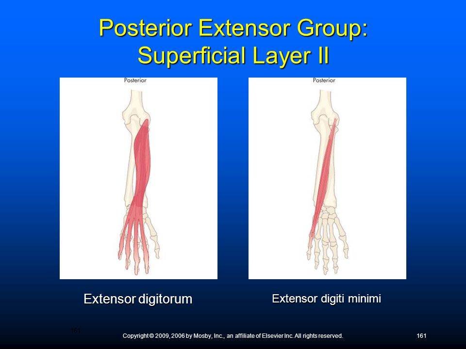 Posterior Extensor Group: Superficial Layer II