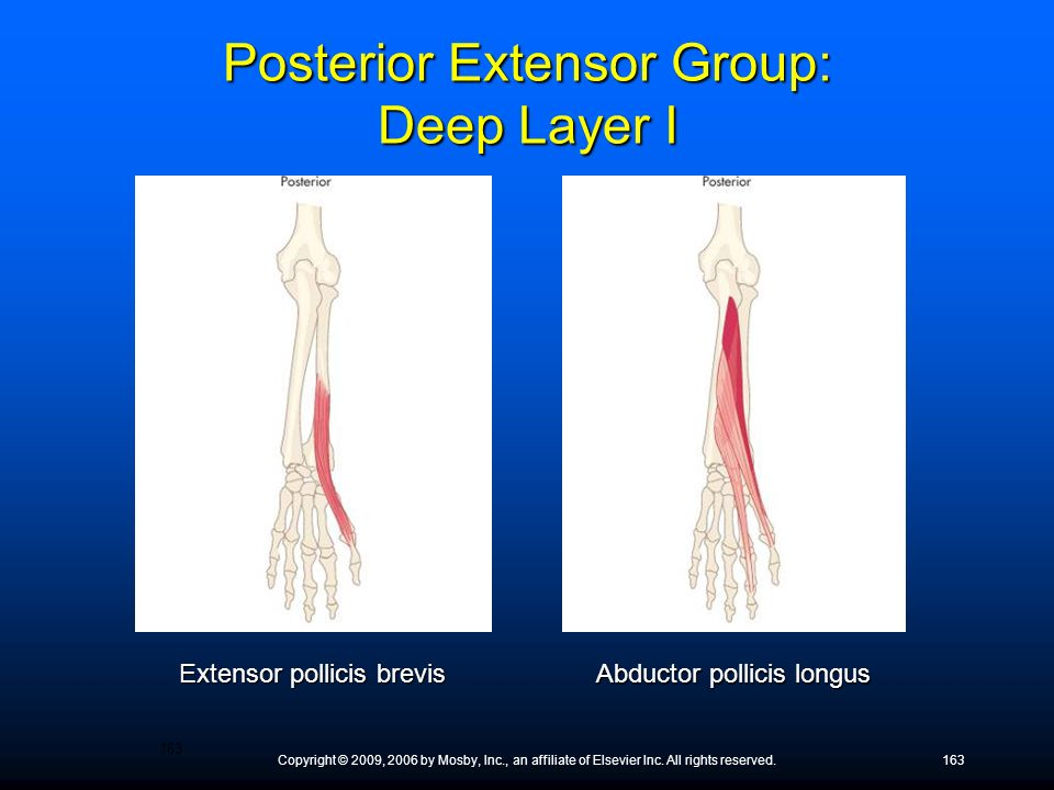 Posterior Extensor Group: Deep Layer I