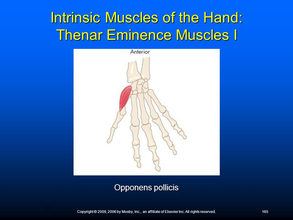 Intrinsic Muscles of the Hand: Thenar Eminence Muscles I