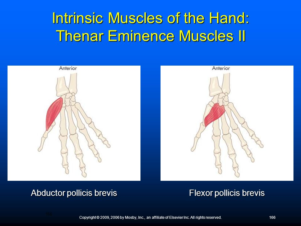 Intrinsic Muscles of the Hand: Thenar Eminence Muscles II