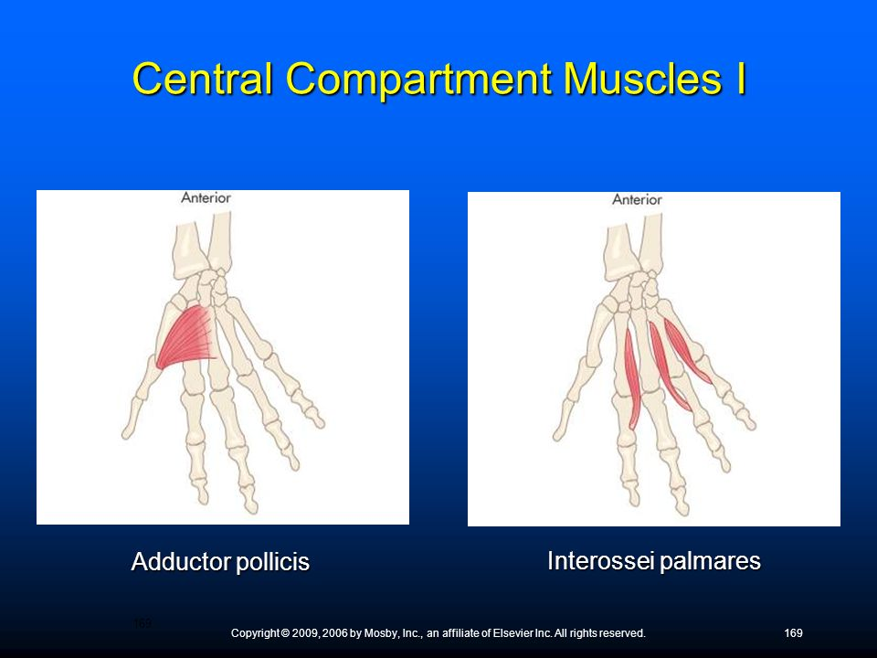 Central Compartment Muscles I