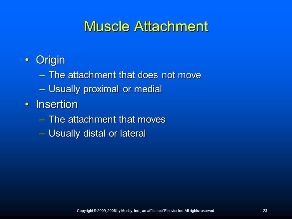 Muscle Attachment Origin Insertion The attachment that does not move