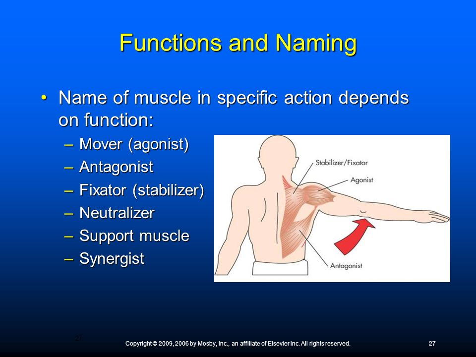 Functions and Naming Name of muscle in specific action depends on function: Mover (agonist) Antagonist.