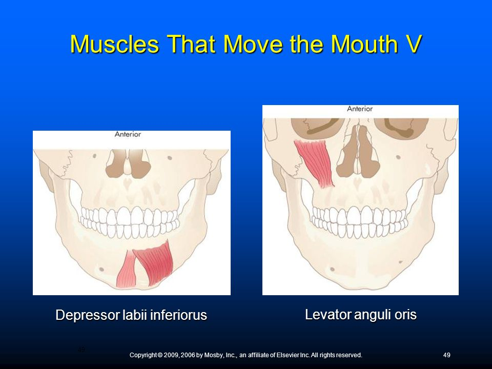 Muscles That Move the Mouth V