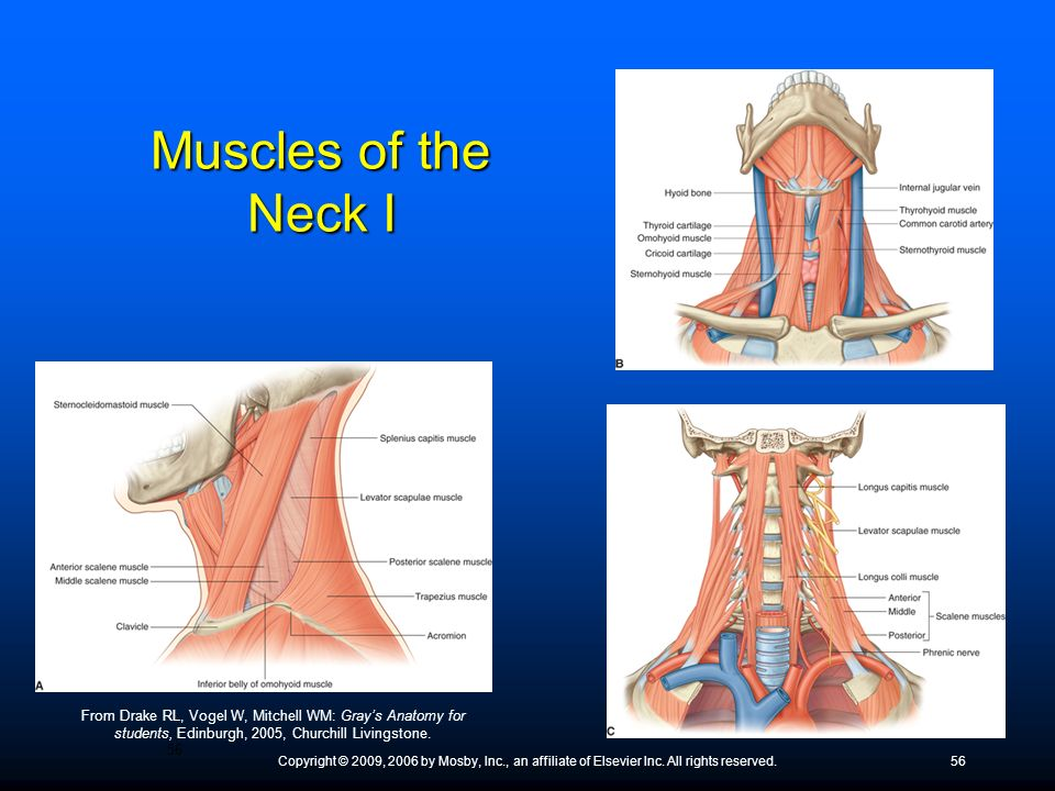 Muscles of the Neck I ● Many of these muscles attach to the upper ribs; they function as accessory breathing muscles.