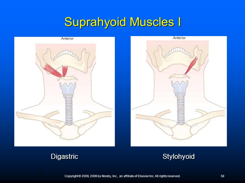 Suprahyoid Muscles I Digastric Stylohyoid