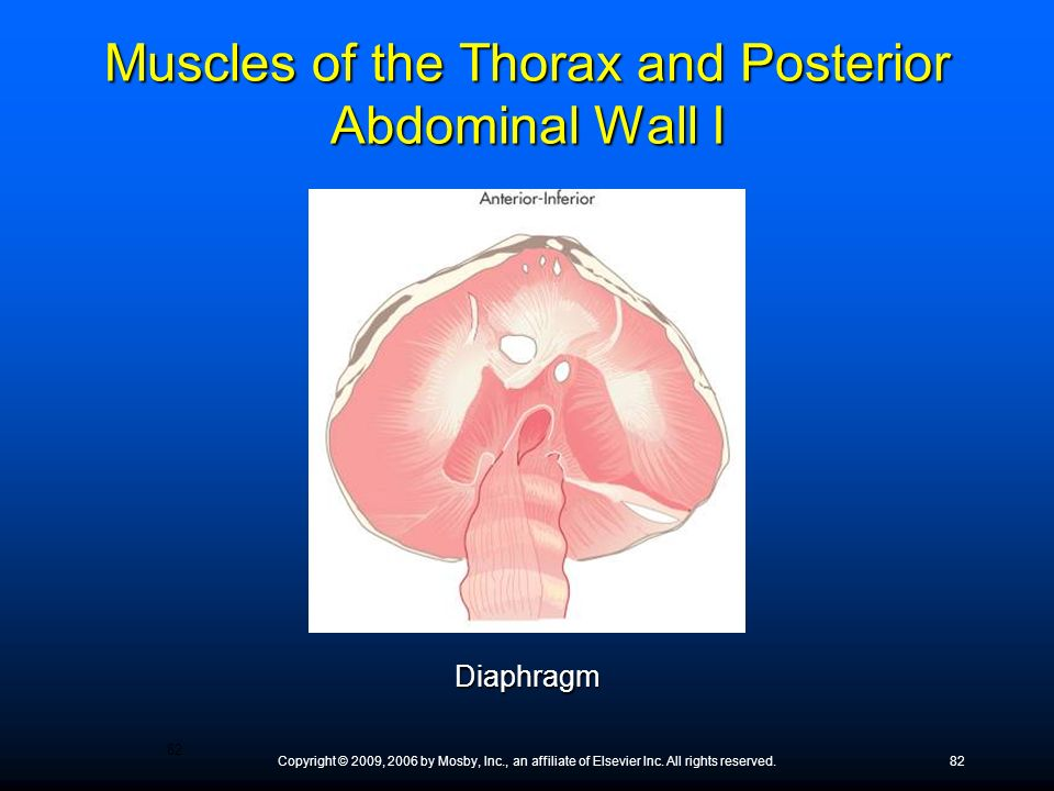 Muscles of the Thorax and Posterior Abdominal Wall I