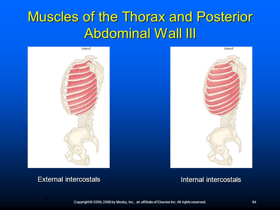 Muscles of the Thorax and Posterior Abdominal Wall III