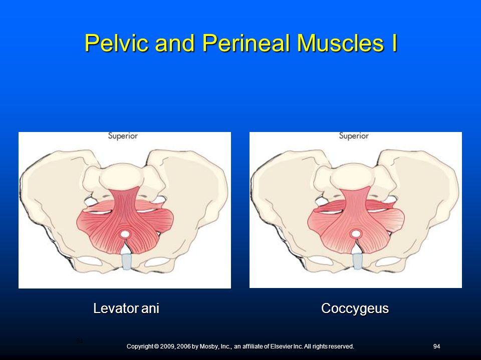 Pelvic and Perineal Muscles I