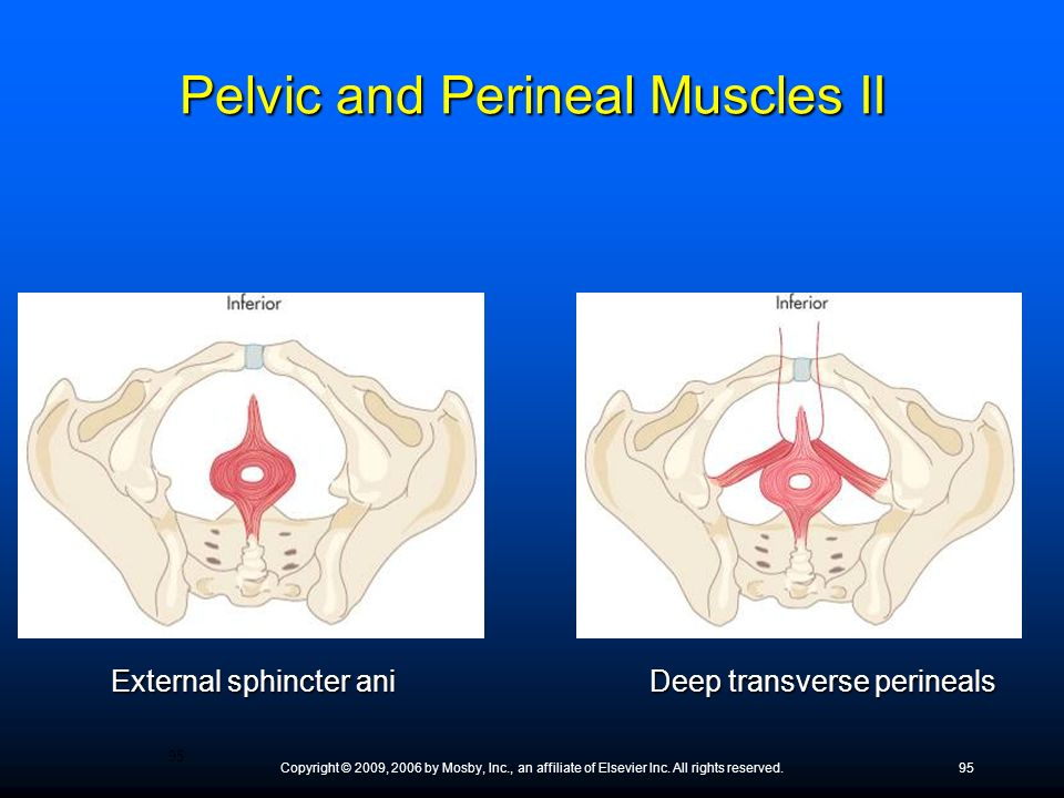 Pelvic and Perineal Muscles II