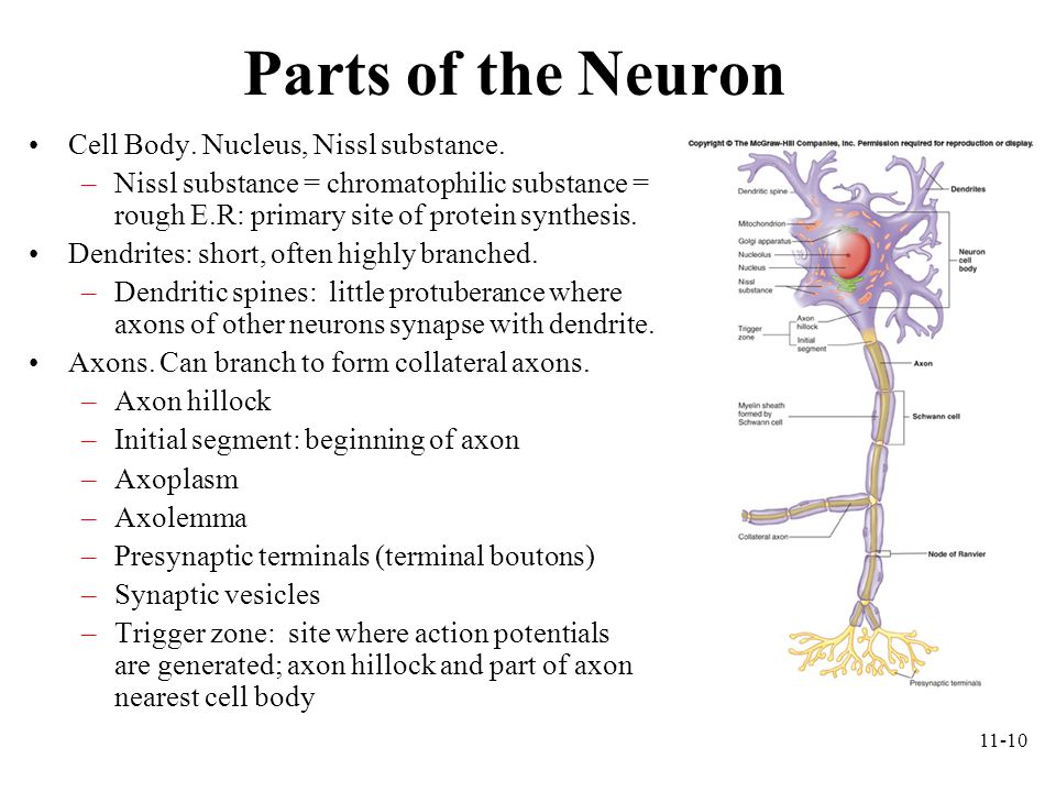 Parts of the Neuron Cell Body. Nucleus, Nissl substance.