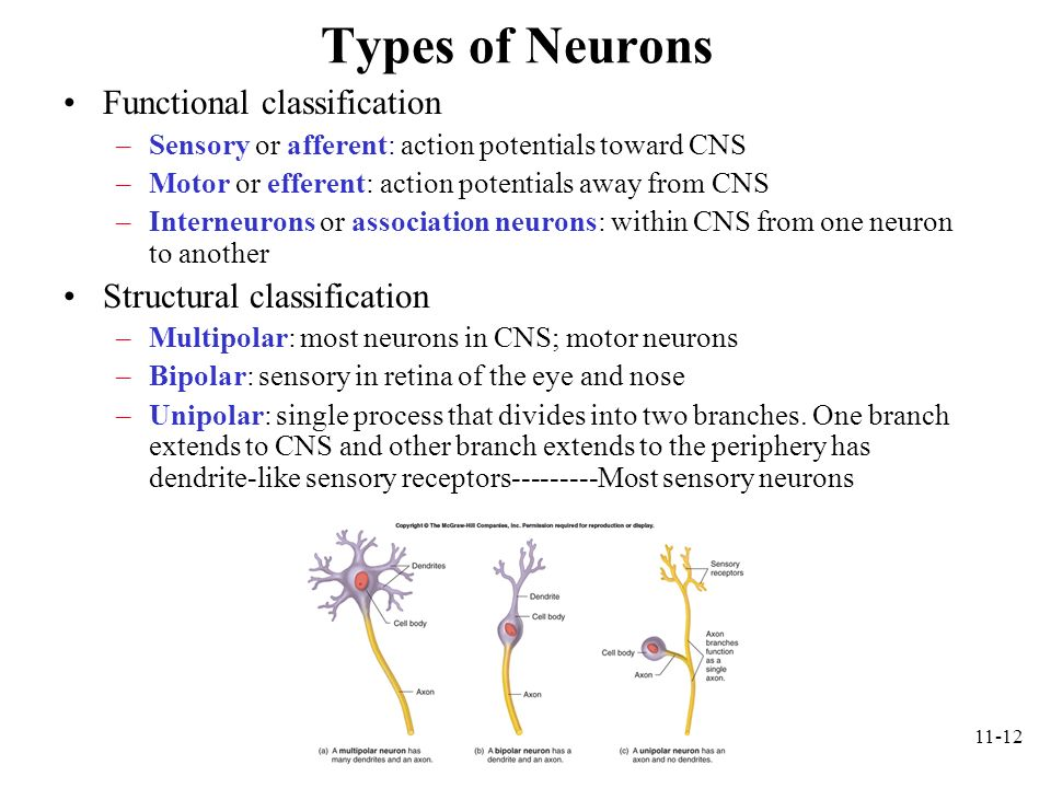 Types of Neurons Functional classification Structural classification