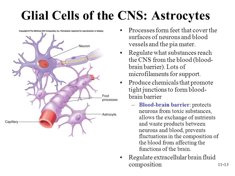 Glial Cells of the CNS: Astrocytes