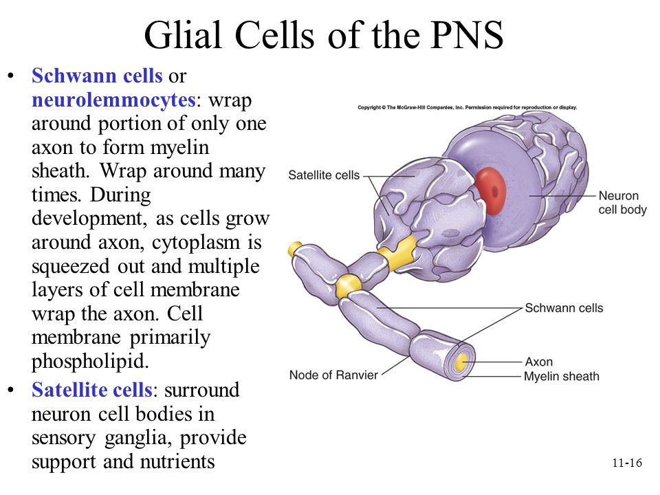 Glial Cells of the PNS