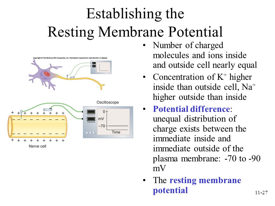 Establishing the Resting Membrane Potential