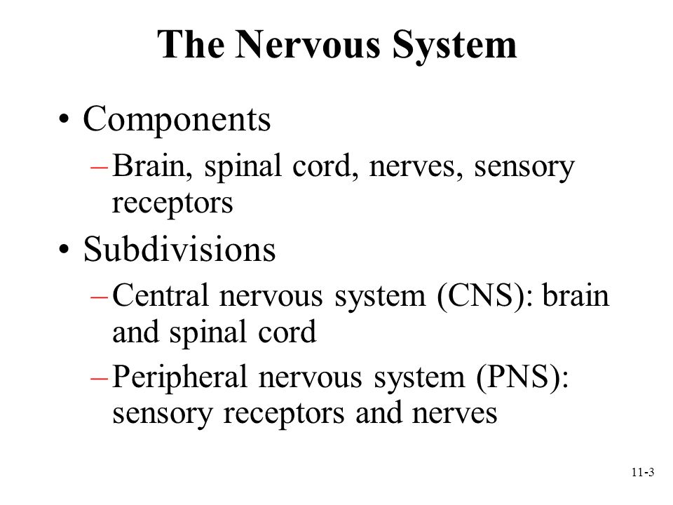 The Nervous System Components Subdivisions