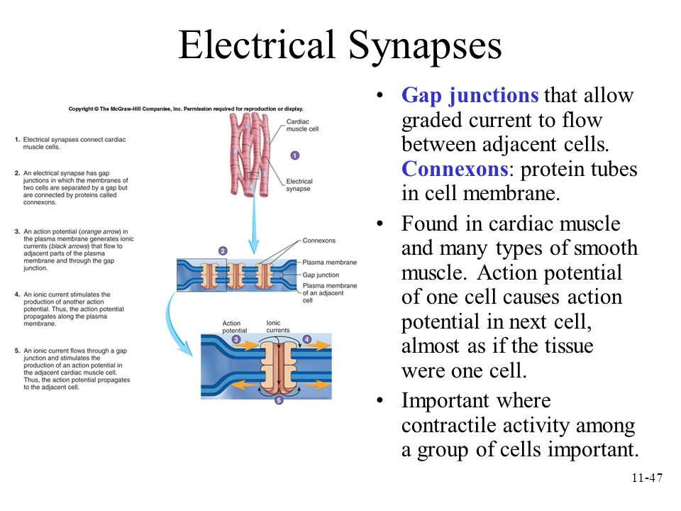 Electrical Synapses Gap junctions that allow graded current to flow between adjacent cells. Connexons: protein tubes in cell membrane.