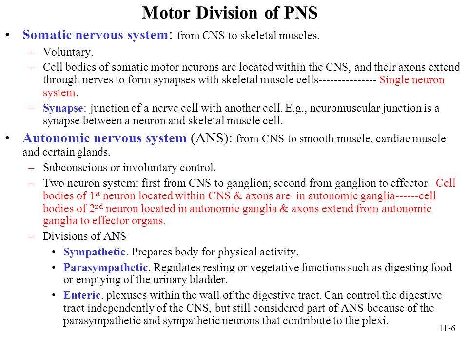 Motor Division of PNS Somatic nervous system: from CNS to skeletal muscles. Voluntary.