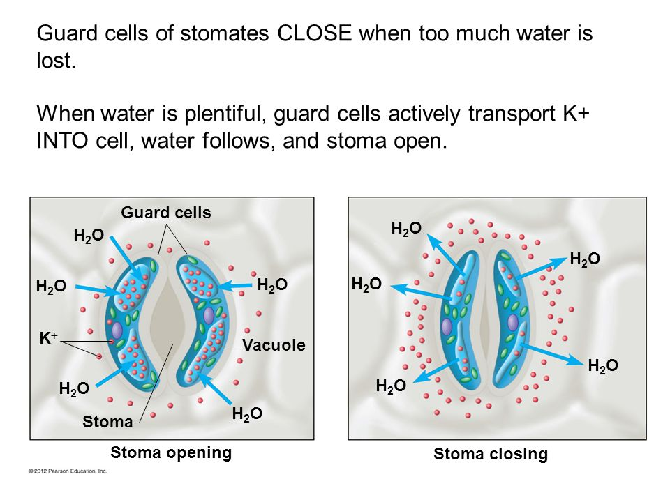 Guard cells of stomates CLOSE when too much water is lost.