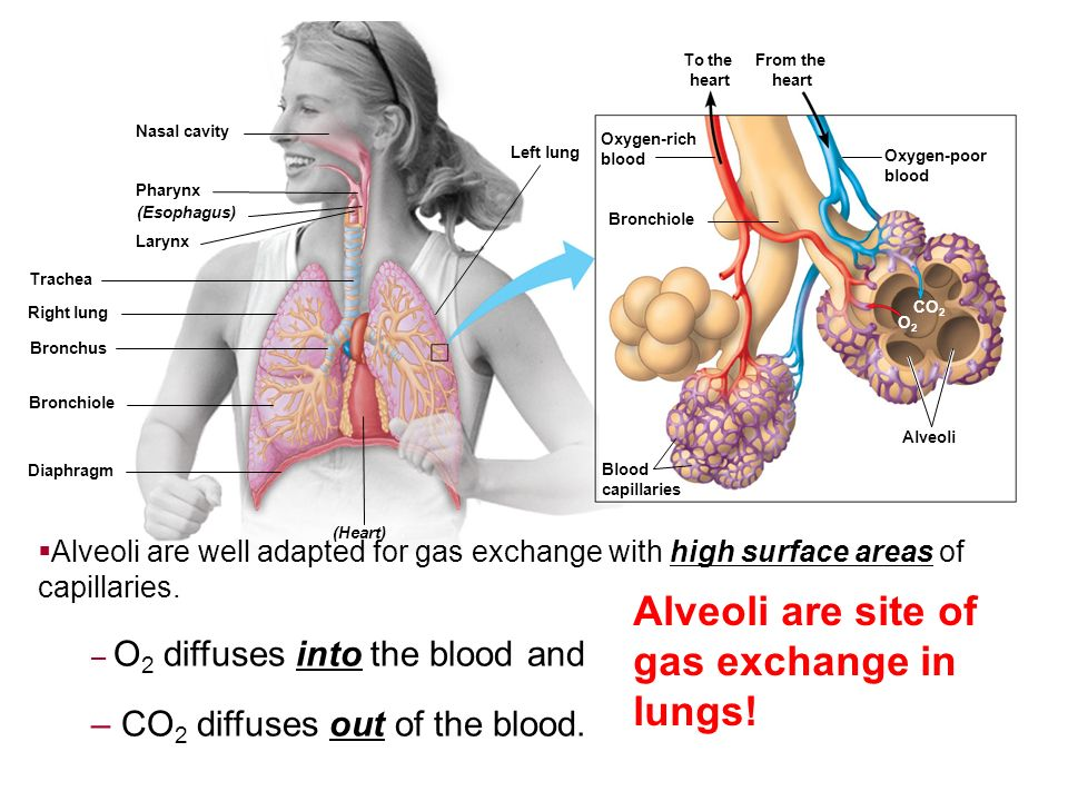 Alveoli are site of gas exchange in lungs!