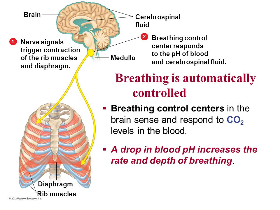 Breathing is automatically controlled