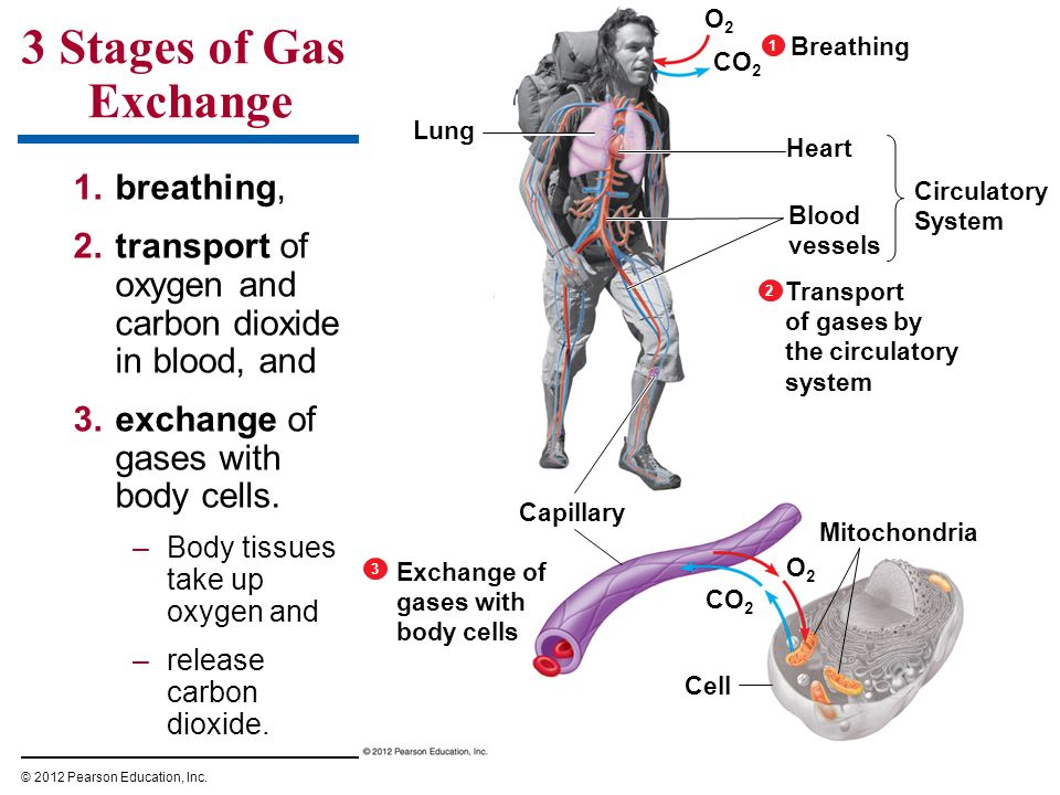 3 Stages of Gas Exchange breathing,