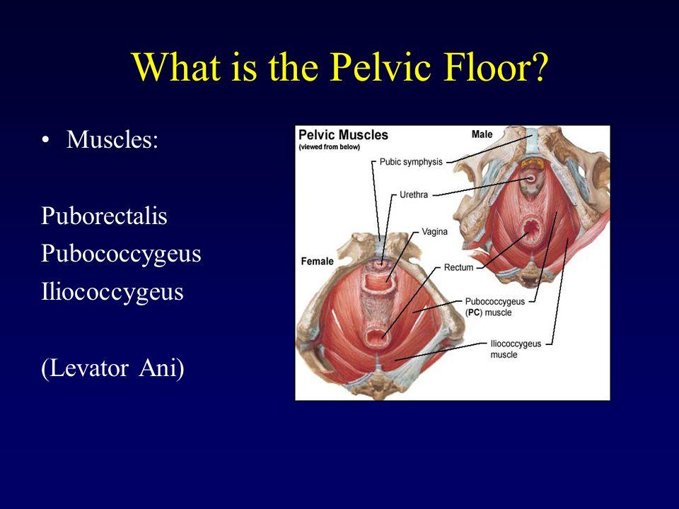 Pubococcygeus pc muscle