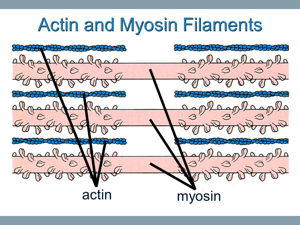 Actin and Myosin Filaments