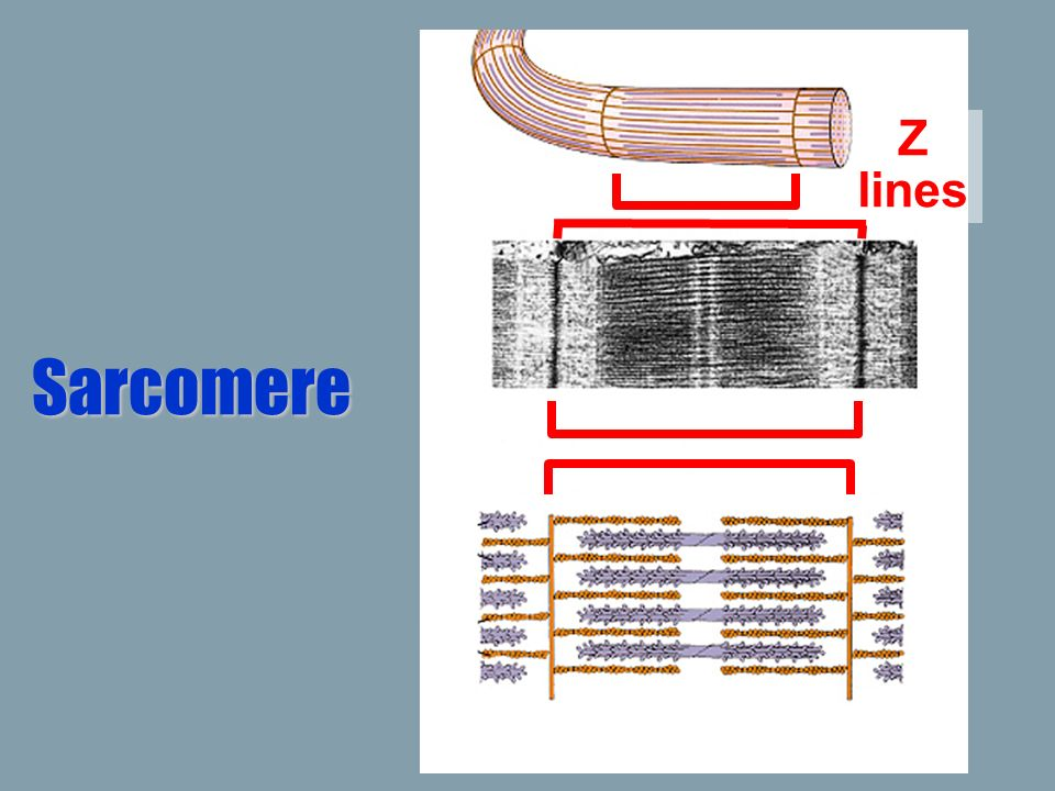 Z lines Sarcomere