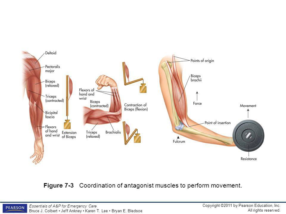 Figure 7-3 Coordination of antagonist muscles to perform movement.