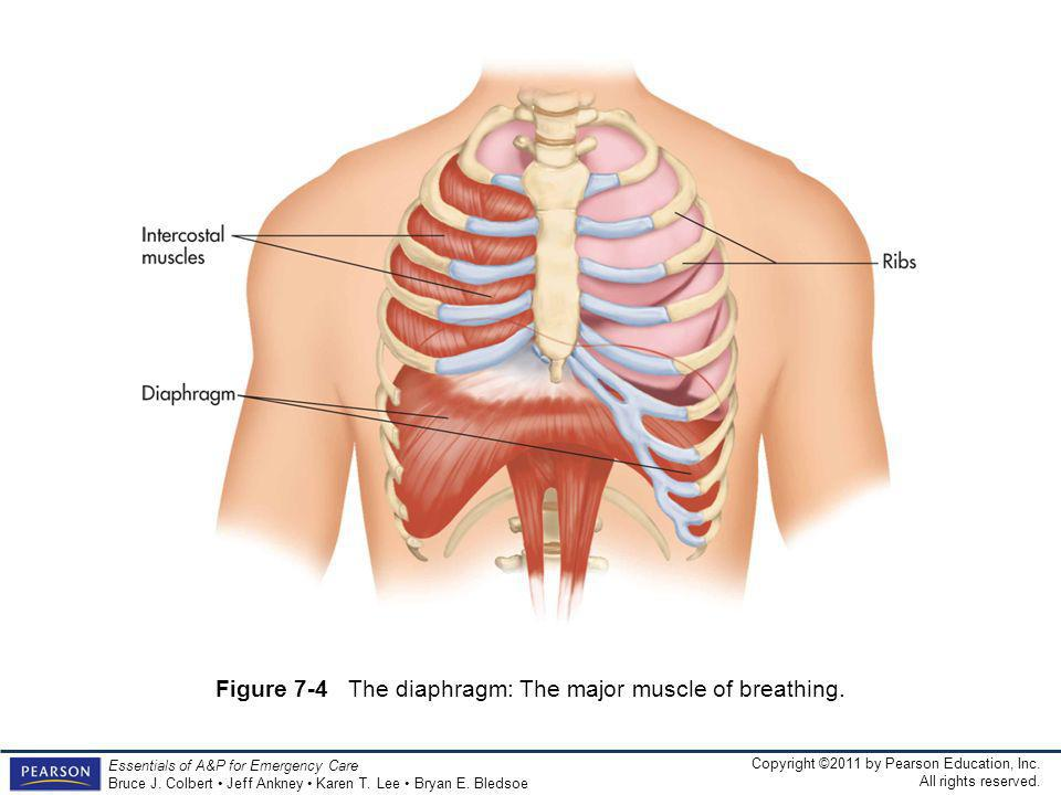 Figure 7-4 The diaphragm: The major muscle of breathing.