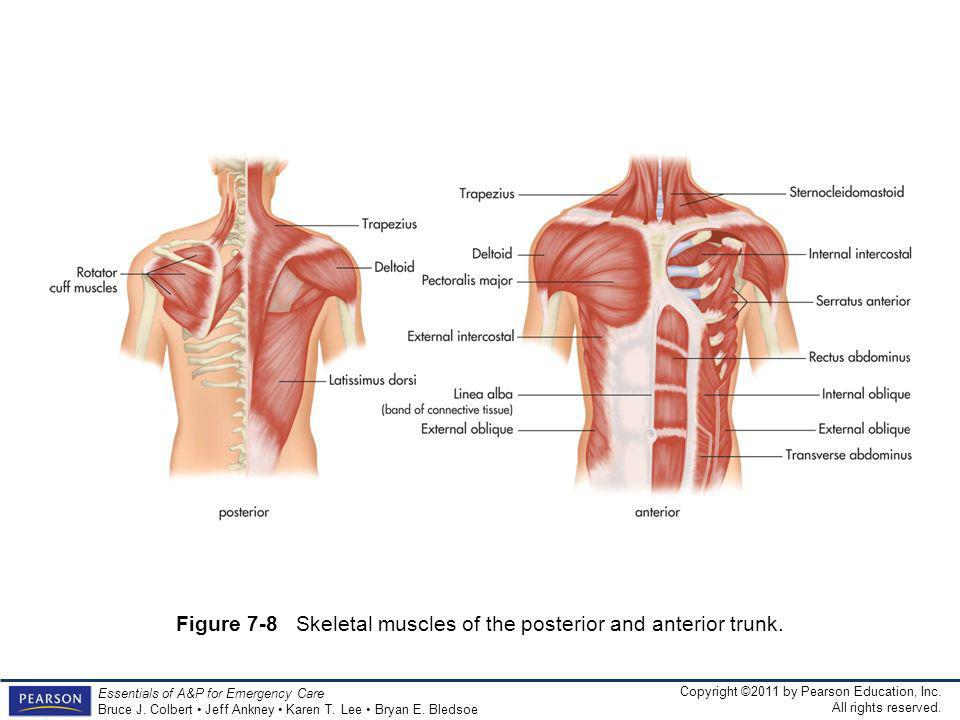 Figure 7-8 Skeletal muscles of the posterior and anterior trunk.