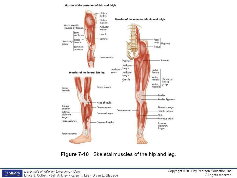 Figure 7-10 Skeletal muscles of the hip and leg.