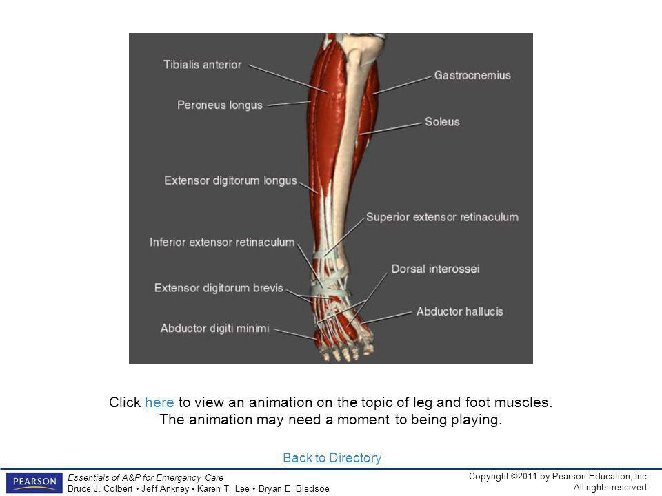 Click here to view an animation on the topic of leg and foot muscles