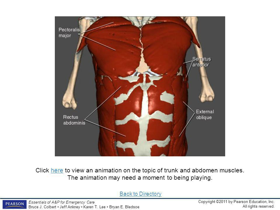 Click here to view an animation on the topic of trunk and abdomen muscles. The animation may need a moment to being playing.