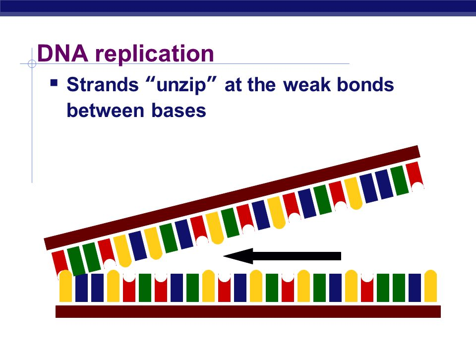 DNA replication Strands unzip at the weak bonds between bases
