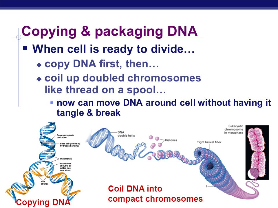 Copying & packaging DNA