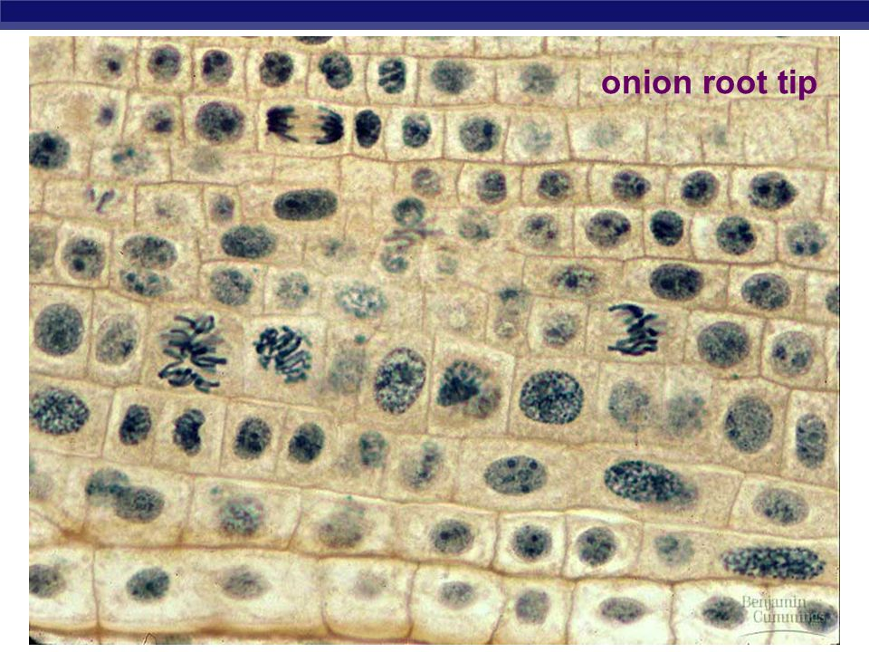 onion root tip
