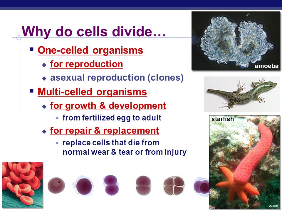 Why do cells divide… One-celled organisms Multi-celled organisms
